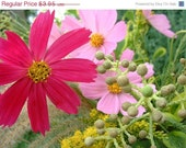 Shop Closing 60% OFF SALE Cosmos Single Sensation Seed Packets