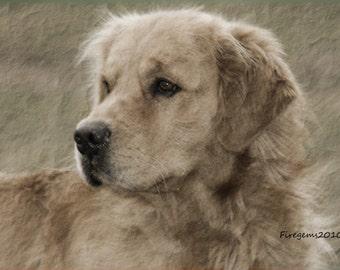 Golden Retriever-Dog-puppy-Animal-photography-Print-photo