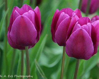 Flower note card,  tulip note card, flower photography, tulip photography, nature photography, nature notecard, Flower print, Tulip flowers