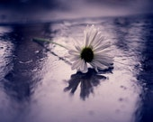 Rainy Day - 8x10 Fine Art Photograph, Flower, Daisy, Rain, Purple, Still Life