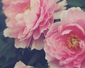 Pink Peonies - Fine Art Photograph, Flowers, Nature, Garden Photography
