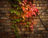 Vines with Red and Green Leaves Climbing up a Brick Wall in Grand Rapids Michigan No.0105 A Fine Art Nature Photograph