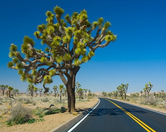 Joshua Tree along the Roadway in Joshua Tree National Park in California No. 371 Western Desert Landscape Color Fine Art Photography