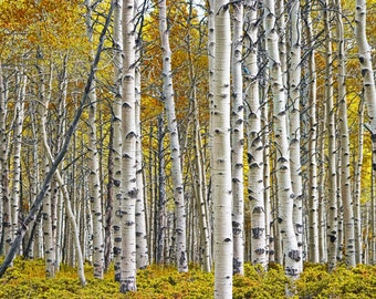 Photograph, Birch Tree Grove, Panorama, Yellow, Autumn Leaves, Fall Landscape, Aspen Trees, Nature Photography, Wall Decor Print