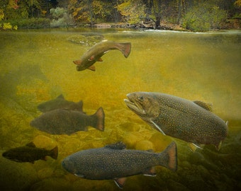 Brown Trout Fish feeding and shown as if in a mid west trout stream A Fine Art Nature Photograph