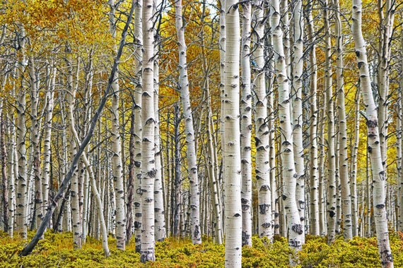 Birch Tree Grove Panorama with Autumn Yellow Leaves No.0641 - A Fall Landscape Photograph