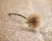 Fine Detail - Photography - Weed, Macro, Writing, Dew, Dictionary, Dandelion, Neutral, Beige - Decor