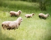 Family - Photograph Photography - Gilding Lilies - Lamb Sheep Ewe - Green Spring Meadow Field - Farm Animal - Beige Emerald
