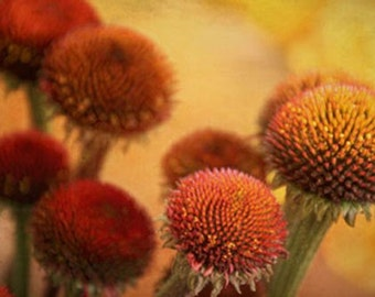 Echinacea - 8 X 10 Photograph - Fall Autumn Photography - Wellness, Natural Remedy - Herbal - Golden Orange Amber Russet Saffron Maroon