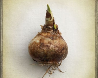 The Collection Number VIII Photography - Brown Flower Bulb, Garden, Gardening Spring Planting, Gardener, Natural History, Potting Shed Decor