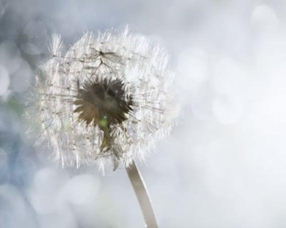 When Wishes Shine - Photography - Dandelion Dreams - Dream  Make A Wish - Sunshine Sparkle - Silver Gray Light White Sky