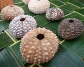 Hawaiian Wana (Sea urchin) Shells - 6 Piece Set - Medium size