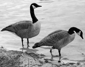2 Canada Geese on shore B&W