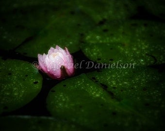 Pink Water Lily Flower with Rain Drops Photograph Print