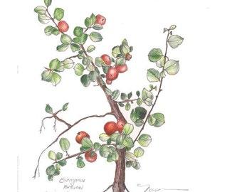 "Winter Creeper, Print of drawing of Evergreen Low Shrub, 8"" x 10"""