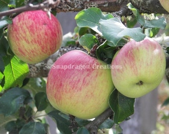 Apples on the Tree Photograph
