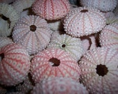 Small Pink Sea Urchins Pastel Seashells Urchin Loose Beach Wedding Decorating Sea Life Supplies Coastal Decor Arts Crafts Collections