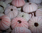 Small Pink Sea Urchins Pastel Seashells Urchin Loose Beach Wedding Decorating Sea Life Supplies Coastal Decor Arts Crafts Collections