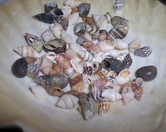 Tiny Small Sea Shell Mix Supplies for Arts and Crafts, Home Decor, Collections