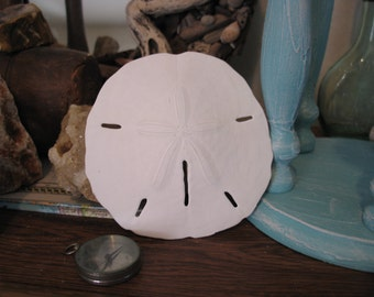 Large Sand Dollar for Coastal Beach Decorating Decor or Crafts, and Weddings XL Size
