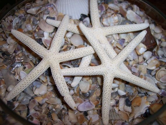 "Small 3""-4"" White Finger Starfish Sea Star fish loose for decorating, crafts, or display set of 3"