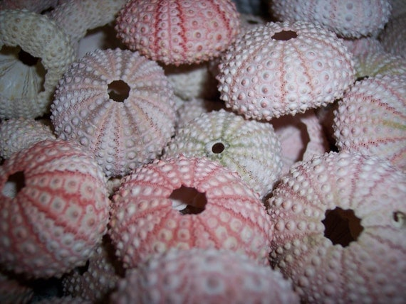 Set of 12 Small Pink Sea Urchins Loose Sea Life Supplies for Coastal Decor or Arts and Crafts