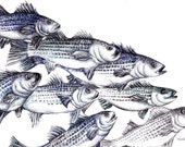 Fish Art Print - Striped Bass Ink Drawing Giclee Print - Fish Illustration - Nautical Wall Decor - Dorm Wall Art - Fishing Gift