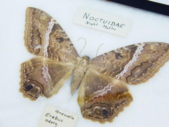 Framed Brown Moth Taxidermy Mount