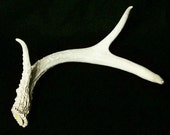 Single Weathered Central Texas Whitetail Antler (H151)