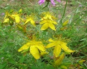 St Johnswort Seed Organic Heirloom Herb Seed