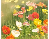Poppies, Springtime, Dreamy Floral Photography, green, yellow, orange, vermillion - 8x8 or 12x12 - Original  Fine Art Photograph
