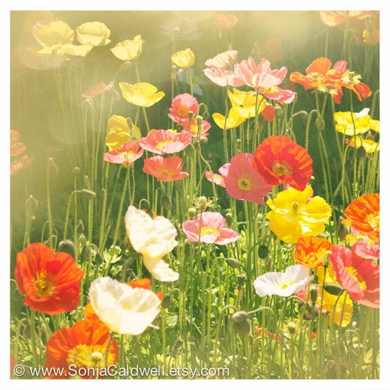 Poppies, Springtime, Dreamy Floral Photography, green, yellow, orange, vermillion - 8x8 or 12x12 - Original  Fine Art Photograph