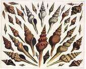 Sea Shells - Small Ocean Marine Sea Life Illustration