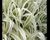 stunning Peppermint stick reed grass - live plant