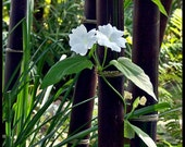 Live Black Bamboo Plant - BOGO SALE, XL Live Bamboo, Zen Garden, Koi Pond, Unique Garden Plant,Privacy Fence, Asian garden