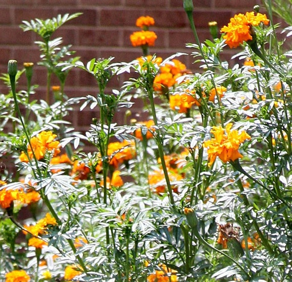 Organic Giant African Marigold seeds