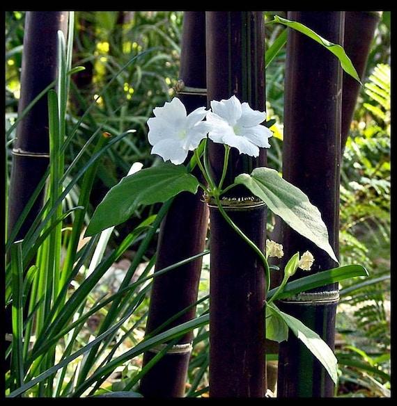 Live Black Bamboo Plant - BOGO SALE, XL Live Bamboo, Zen Garden, Koi Pond, Unique Garden Plant,Privacy Fence, Asian garden
