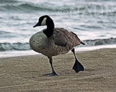 "Digital Picture Photo wallpaper image Download ""Happy Feet - Canadian Goose"""