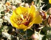 Yellow Cactus Flower Photo 8x10 Fine Art Print