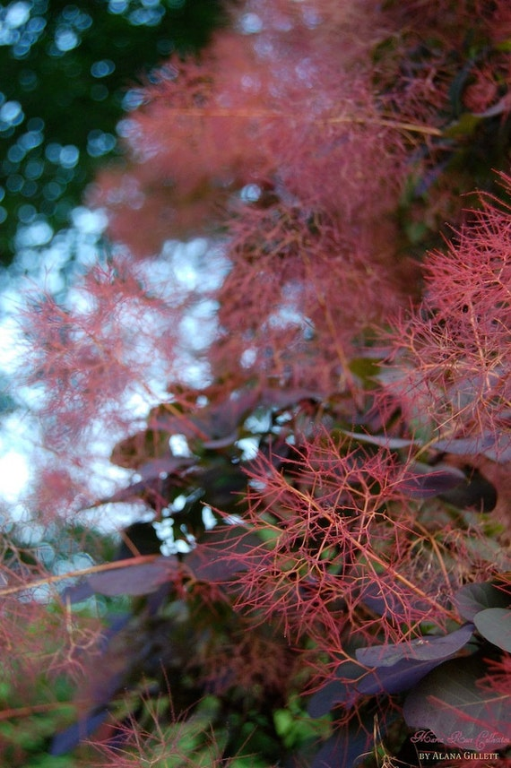 IN STOCK- Smoke Bush- Fine Art Photopgraphy print 5x7 by Alana Gillett- Sky Bokeh Plant Oxblood Emerald Violet Blue Wall Art Home Decor