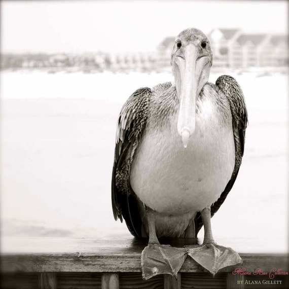 Who Me- Fine Art Photopgraphy print 5x5 by Alana Gillett- Bird Pelican Ocean Sea Black White Beach Decor Wall Art Home Decor