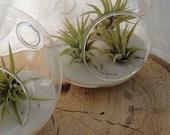 Mini Air Plant Terrarium Glass Globe
