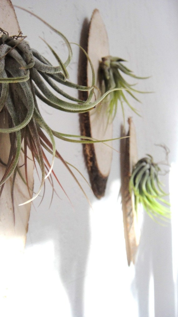 Kolbii Air Plant Wall Art Mounted On Wood