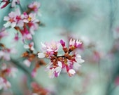 Spring rain - spring flower french country nature tree photography 5x7 fine art photograph shabby chic home decor honeysuckle teal pink