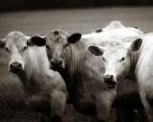 "farmhouse decor ""Cow Talk"" - farm photo - black and white photography  - kitchen home decor butcher farmers market"