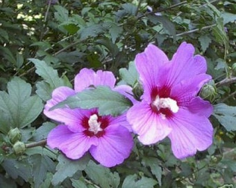 """Althea -  Blooming size plant 30-36"""""""