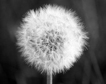 Hang On - Fine Art Photograph Black and White Nature Flower Dandelion - Free Shipping