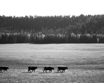 Field Cows - Home Decor Fine Art Photograph - Rustic Black and White, Trees, Farm Animals