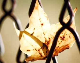 Yellow Autumn Leaf in Fence - Fall  Nature Fine Art Photograph