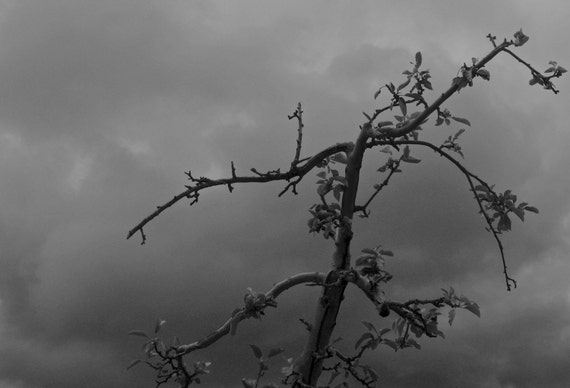 Dark Gray Sky - Fine Art Photograph - Halloween, Fall, Autumn, Gray Trees, Apple Orchard, New England, Rustic Home Decor